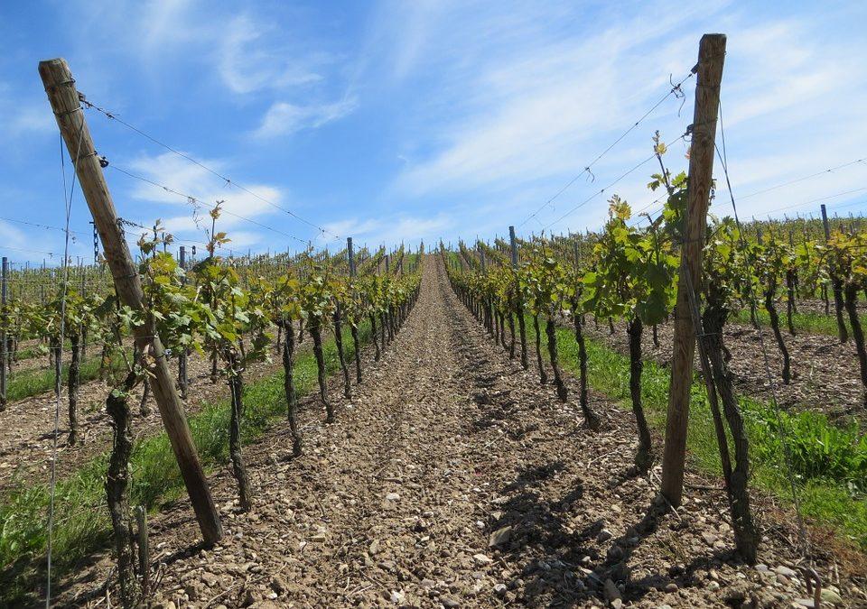 El valor de las uvas que se cultivan en Castellón